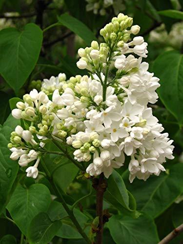 Weißer Flieder Syringa vulgaris alba Pflanze 25-30cm Fliederstrauch Rarität