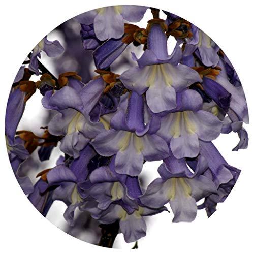 Kiri Baum / Blauglockenbaum / 30 Samen / Paulownia tomentosa / bis -25°C