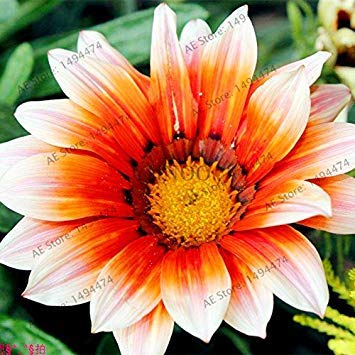 VISTARIC Jaune: 200pcs Bonsai couleurs mélangées Petunia Seeds belles graines de fleurs Jardin Plante Pétunia Graine Balcon cadeau rare Décoration Jaune