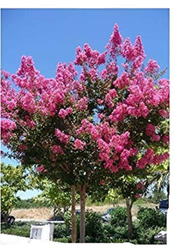 TROPICA - Mirto crespo (Lagerstroemia indica violacea) - 200 Semi- Magic tropical