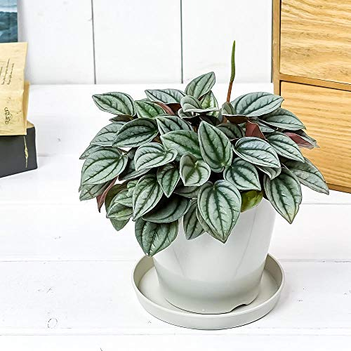 観葉植物 ペペロミア ナポリナイツ 3.5号鉢 受け皿付き 育て方説明書付き Peperomia cv. 希少 レア