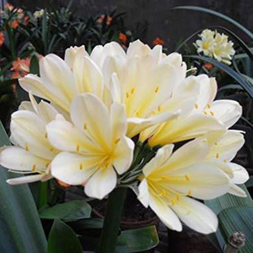 Tomasa Samenhaus-100pcs Clivia Samen, Raritäten Zierpflanzen garten Blumenzwiebeln saatgut Zierblumen für Balkon, Garten