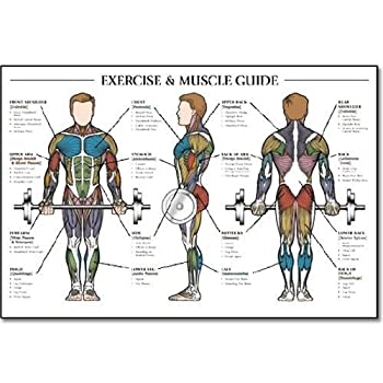 Fitnus Chart Series Exercise & Muscle Guide-Male 24 x36