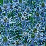 Beautytalk-Garten Spanische Edeldistel Samen Eryngium bourgatii Edelstahl Distel Samen exotische samen Distel Kugeldistel Blumensamen Blauer Zwerg Pflanzensamen,winterhart mehrjährig