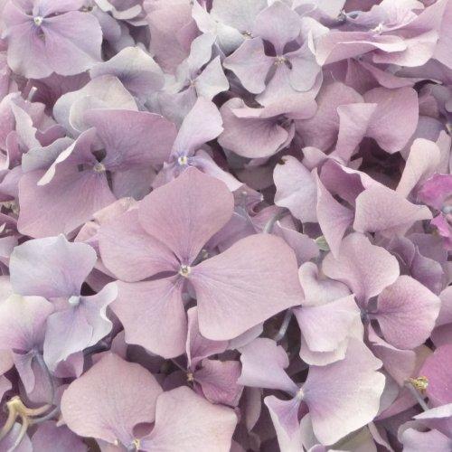 1 Pint Lila Blüte Gefriergetrocknet Hortensie Blütenblatt Konfetti