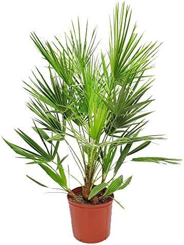 Trachycarpus fortunei Vase//Pot 24 1 Palm 1 Palm