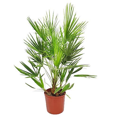 """欧式粉布棕榈 - 佛罗里达州的热带植物 - 活棕榈树植物 -  3加仑罐 - 总高度24""""到30"""
