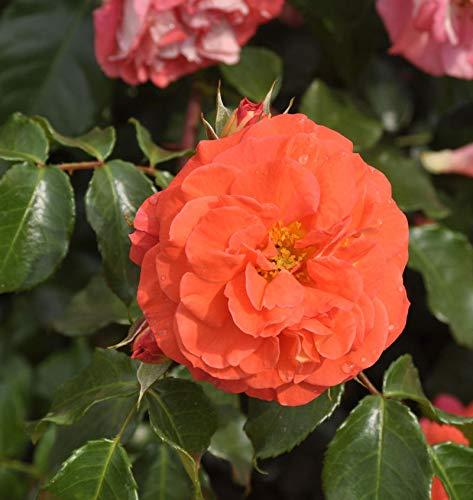 Hochstamm Rose Gebrüder Grimm®...