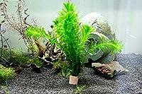 (水草)メダカ・金魚藻 国産 無農薬アナカリス(20本) アクアノースビーチ おまけ付き