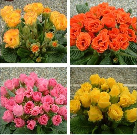 Rose graines Primula 50pcs rares graines de fleurs de bonsaïs d'intérieur pétales doubles graines Primrose de plantes en pot en plein air pour le jardin de la maison 1