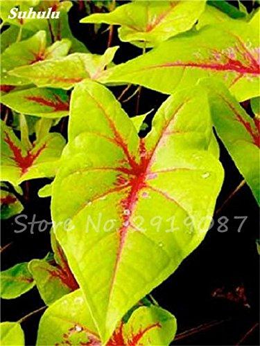 Janpanse Bonsai coleus Seeds 50 Pcs Plantes feuillage couleur parfaite arc Graines Belle mixte Fleur Flore Jardin Sement 5