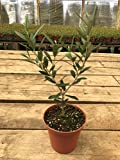 Olea Dwarf Olive Tree