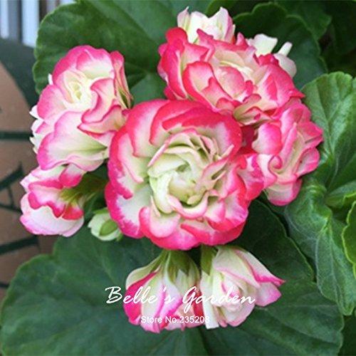 5pcs Couleurs multiples Variétés Géranium Graines Bonsai Pelargonium vivaces Graines de fleurs Hardy Patio Plante Plante en pot bricolage 02