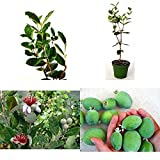 """AchmadAnam - Live Plant Pineapple Guava Easy to Grow Feijoa ACCA sellowiana Τubs 4""""Pot Garden"""
