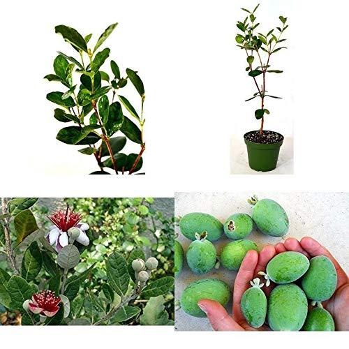 FERRY Bio-Saatgut Nicht nur Pflanzen: Pine Guava leicht anzubauen Feijoa Brasilianische Guave UBS 4