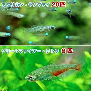 charm(チャーム) (熱帯魚)アフリカン・ランプアイ Sサイズ(20匹) + グリーンファイアー・テトラ(6匹) 【生体】