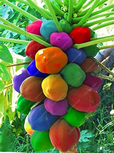 AGROBITS 30pcs doux Maradol bonsaïs Papaye extérieur comestible Tropical Juicy Fruit Jardin Heirloom Jardin Bio Nain Arbre fruitier: Blanc