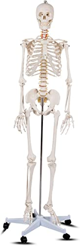 """wholesale Giantex 70.8"""" Life Size high quality Skeleton Model, with Roller Stand, 2 discount Casters with Brake, Removable Parts, Anatomical Poster and Dust Cover, Human Skeleton Model for Anatomy online"""