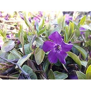 10 Vinca Minor 'Atropurpurea' / Small Purple Periwinkle in 10cm Pots, Lovely Purple Flowers 3fatpigs