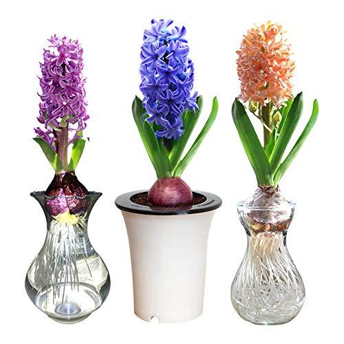 Perennes Plantas Semillas,Bulbos de Jacinto hidropónico con Botella hidroponía Set-Blue_Paquete de Botella de plástico hidropónico,Balcón Primavera Flores
