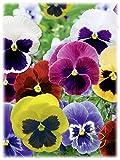 Pensamiento 0.3g Viola Tricolor Flores Semillas Semillas Hortalizas Huerto