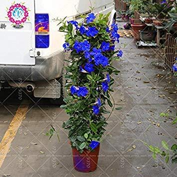 100pcs / bag Mandevilla sanderi -Dipladenia sanderi Samen, Bonsais-Blumen-Anlage für Hausgarten-Pflanzen, einfach 1 wachsen