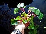Planta de estanque y acuario flotante Trapa Natans (Castaña de agua)