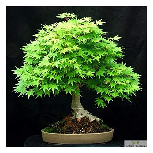 Fácil de Cultivar,Cuatro Estaciones de Semillas de Arce Rojo jardín Ornamental árbol semillas-100 árboles de Arce