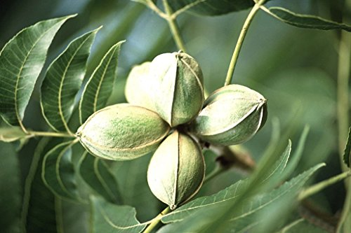 VISA STORE Pecan, Carya illinoinensis, Samen 10 Samen (Hardy, Edible Nüsse)