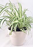Ocean Spider Plant - Easy to Grow - Cleans the Air - 4' ceramic white pot Pot