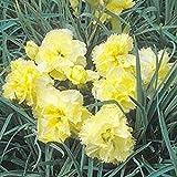 カーネーション - 黄色 - 50種子