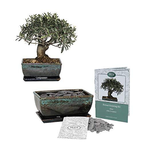 Bonsai Anzuchtset - Oliven Baum