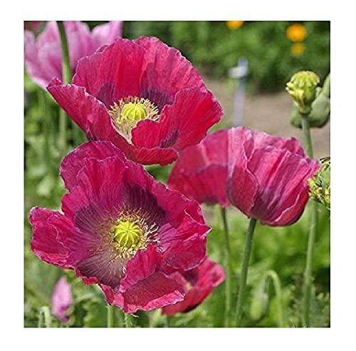 David's Garden Seeds Flower Poppy Hens & Chicks 8993 (Red) 100 Non-GMO, Open...