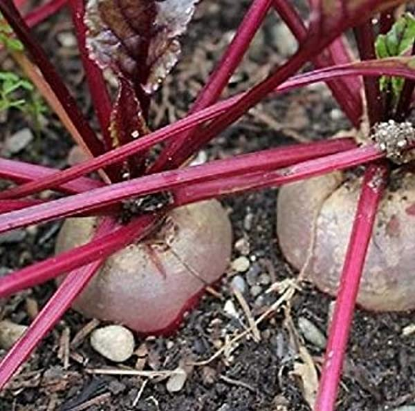 GEOPONICS 100 Jours SeedsDetroit Beets45-50 Nutritif betterave