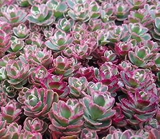 Tricolor Sedum Spurium Succulent - Variegated Stonecrop Succulent