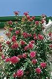'Laguna' -R-, Kletterrose, ADR-Rose im 4 L Container