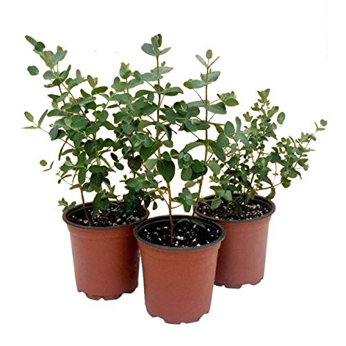 The Three Company Aromatic and Healthy Live Herb Eucalyptus (3 Per Pack), 4.5' Pot Size