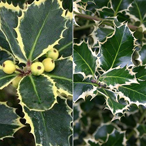 Pflanzen Kölle 2er-Set Buntlaubige Stechpalmen - Ilex, Rubricaulis Aurea, Silver Queen, Höhe 30-40 cm, 5 Liter