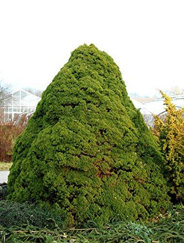 Zuckerhutfichte Picea glauca Conica, Containerware, 70-80 cm hoch, Weihnachtsbaum