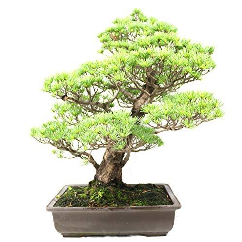 Japanische Mädchenkiefer, Pinus parviflora, Outdoor-Bonsai, 50 Jahre, Höhe 58 cm