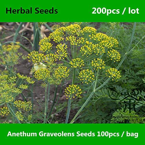 RETS Erleichterung der Verdauung Anethum graveolens 200pcs, Familie Apiaceae Dill al, Am meisten benutzt Shi Luo