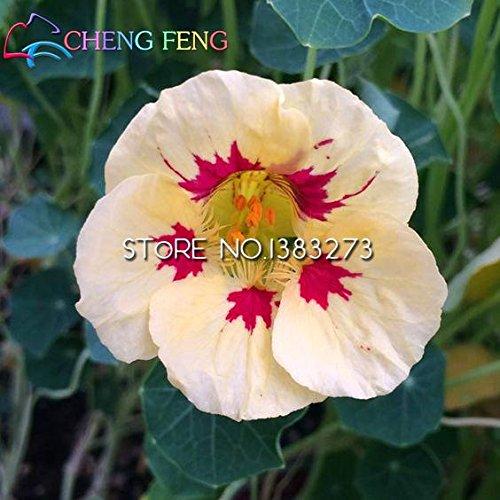 Big Sale !!! 100pcs belle Tropaeolum Majus Seeds frais un taux de survie élevé de Flower Garden Courtyard Plantés