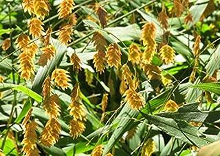 Raflesa Northern Sea Oats -Seed,(Chasmanthium latifolium) Unifola latifolia Seed, Inland Seaoats, and River Oats.Very Attractive Ornamental Grass (1000 Seeds)