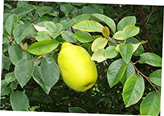 CJI 5 Seeds Pseudocydonia sinensis Chinese Quince Tree - RK37