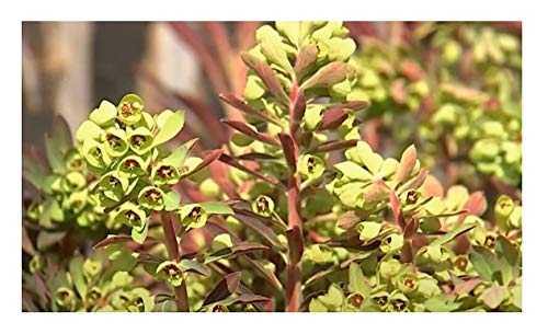 Stk - 3x Euphorbia amygdaloides Purpurea...