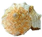 Kaltner Präsente Geschenkidee - 15 bis 16 cm groß Muschel Fasciolaria Trapezium Trapez Bandschnecke Meeresschnecke - 4