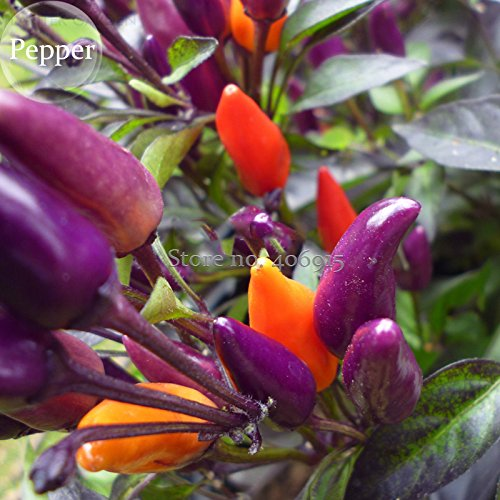 Heirloom Colorful Pot Tabasco Hot Pepper, 30 graines, chili bonsaï d'ornement, y compris violet jaune orange rouge couleurs e3586