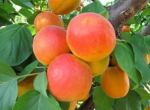 De nouvelles variétés 30pcs Bonsaï blanc Graines bonsaïs de fruits rares tree- plantes d'extérieur pour sementes fruits jardin maison en pot 4