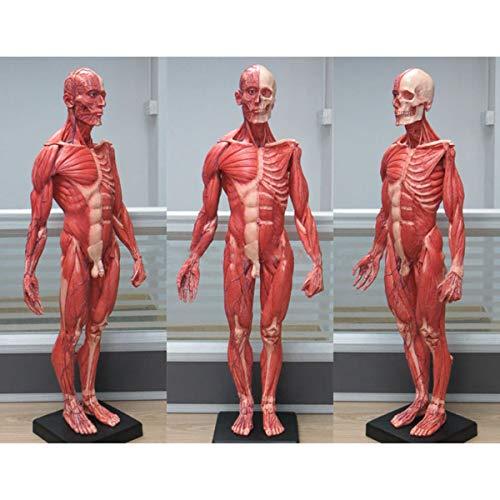 SHUAI Figura De Anatomía Masculina Esqueleto De Músculo Humano Modelo Anatómico Escultura De Pintura Referencia Anatómica para Artistas 23.6 Pulgadas / 60 Cm