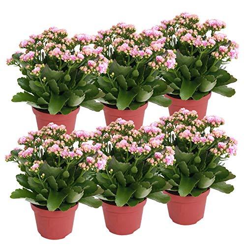 Pflanzen Kölle Flammendes Käthchen 'Calandiva'®, 6er-Set, Kalanchoe blossfeldiana, rosa-weiß, Gesamthöhe ca. 27,5 c